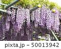 藤の花 50013942