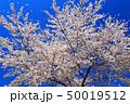 春 桜 満開の写真 50019512