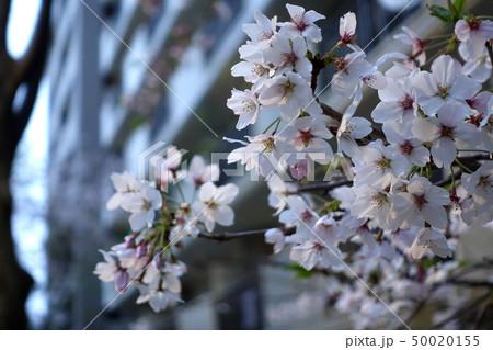 桜 50020155