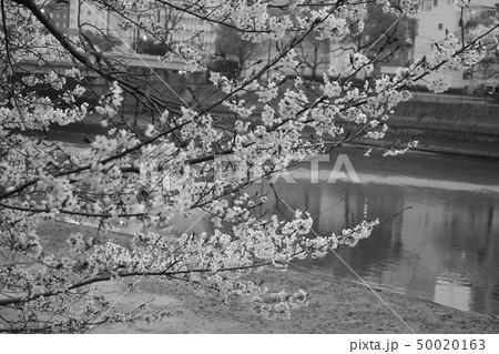 桜 50020163
