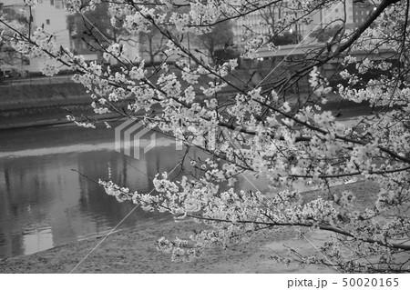 桜 50020165