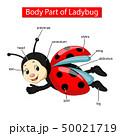 Diagram showing body part of ladybug 50021719