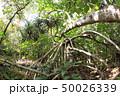 タコノキ 木 自然の写真 50026339