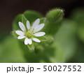 ハコベ 花 植物の写真 50027552