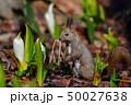 春のエゾリス 50027638