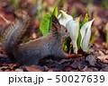 春のエゾリス 50027639