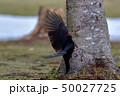 春のクマゲラ 50027725