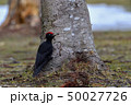 春のクマゲラ 50027726