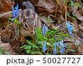 春のシマリス 50027727