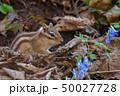 春のシマリス 50027728