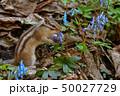 春のシマリス 50027729