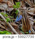 春のシマリス 50027730