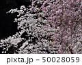 八重桜 春 桜の写真 50028059