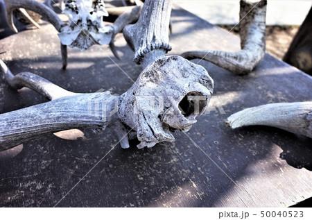 鹿の角、群馬サファリパークの鹿の骨の標本 50040523