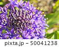 花 シラー シラーベルビアナの写真 50041238