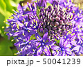 花 シラー シラーベルビアナの写真 50041239