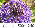 花 シラー シラーベルビアナの写真 50041240