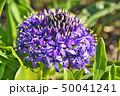 花 シラー シラーベルビアナの写真 50041241