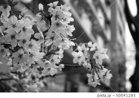 桜 50041293