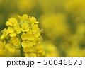 菜の花 花 春の写真 50046673
