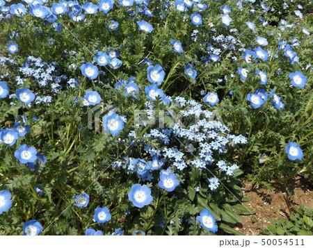 こどもの笑顔のようなネモフィラとワスレナグサの青い花 50054511