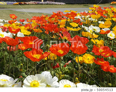 アイスランドポピーのオレンジ色と白と黄色い花 50054513