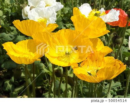 アイスランドポピーの白と黄色い花 50054514