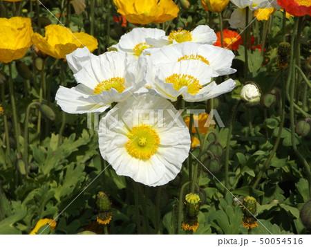 アイスランドポピーの白と黄色の花 50054516
