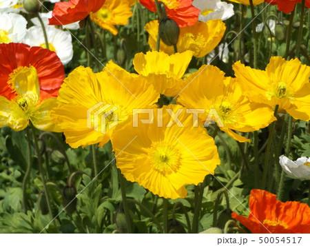 アイスランドポピーの白と黄色の花 50054517