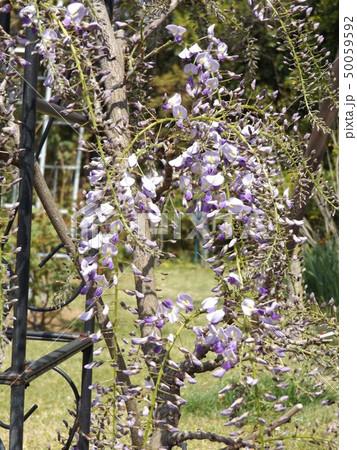5分咲きのフジの花 50059592