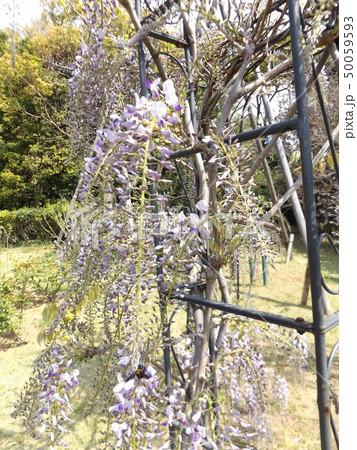 5分咲きのフジの花 50059593