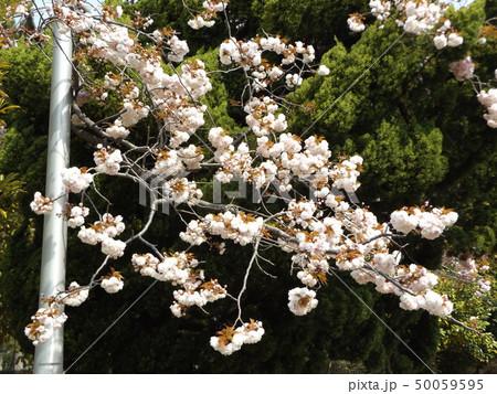 八重の桜は遅咲きのサクラです 50059595