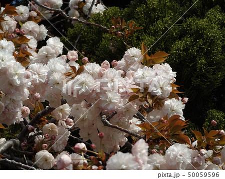 八重の桜は遅咲きのサクラです 50059596