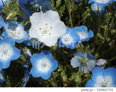 こどもの笑顔のようなネモフィラの白い花と青い花 50060750