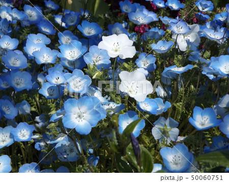 こどもの笑顔のようなネモフィラの白い花と青い花 50060751