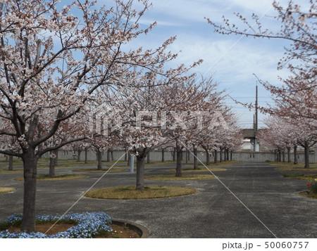 サクラ広場のソメイヨシノが綺麗です 50060757