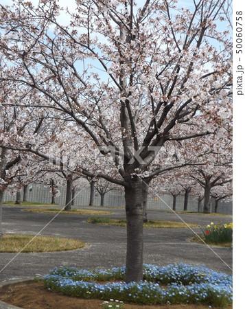 サクラ広場のソメイヨシノが綺麗です 50060758