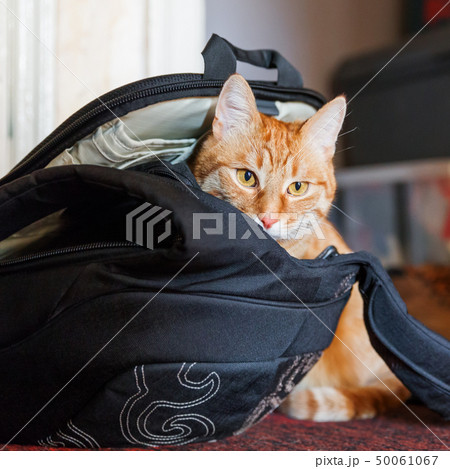 Cute ginger cat sitting in black backpack. 50061067