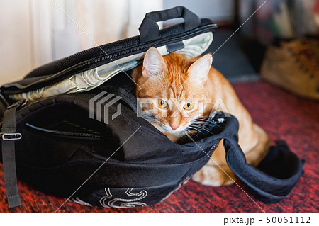 Cute ginger cat sitting in black backpack. 50061112