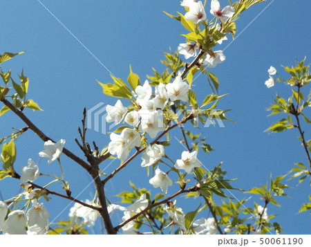 葉っぱが先に出るヤマザクラの白い花 50061190