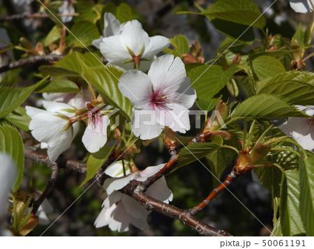 葉っぱが先に出るヤマザクラの白い花 50061191