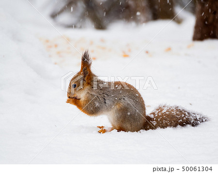 Ginger squirrel sits on snow in the winter forest. 50061304