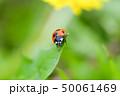 てんとう虫 天道虫 ナナホシテントウの写真 50061469