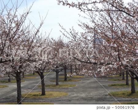サクラ広場のソメイヨシノが綺麗です 50061976