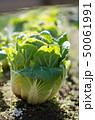 畑の白菜 50061991