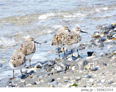 検見川浜で朝の給餌中のミユビシギ 50062354