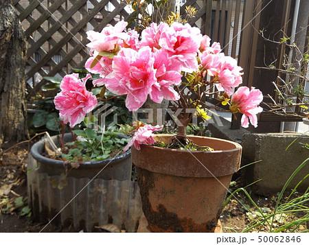 綺麗に咲いたツツジの改良種アザレアの桃色の花 50062846