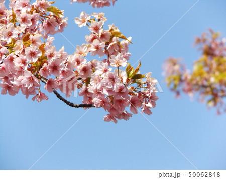 葉桜になった稲毛海岸駅前の河津桜の花 50062848
