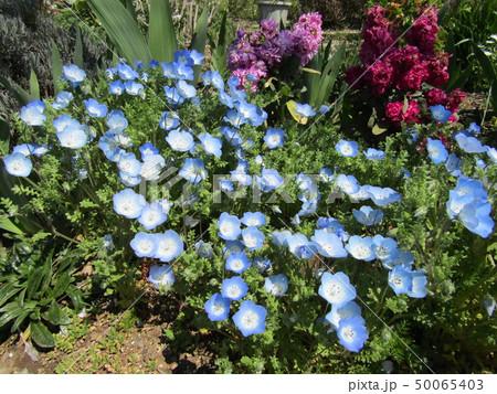 こどもの笑顔のようなネモフィラの青い花とストックの桃色の花 50065403