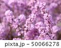 フジモドキ 50066278